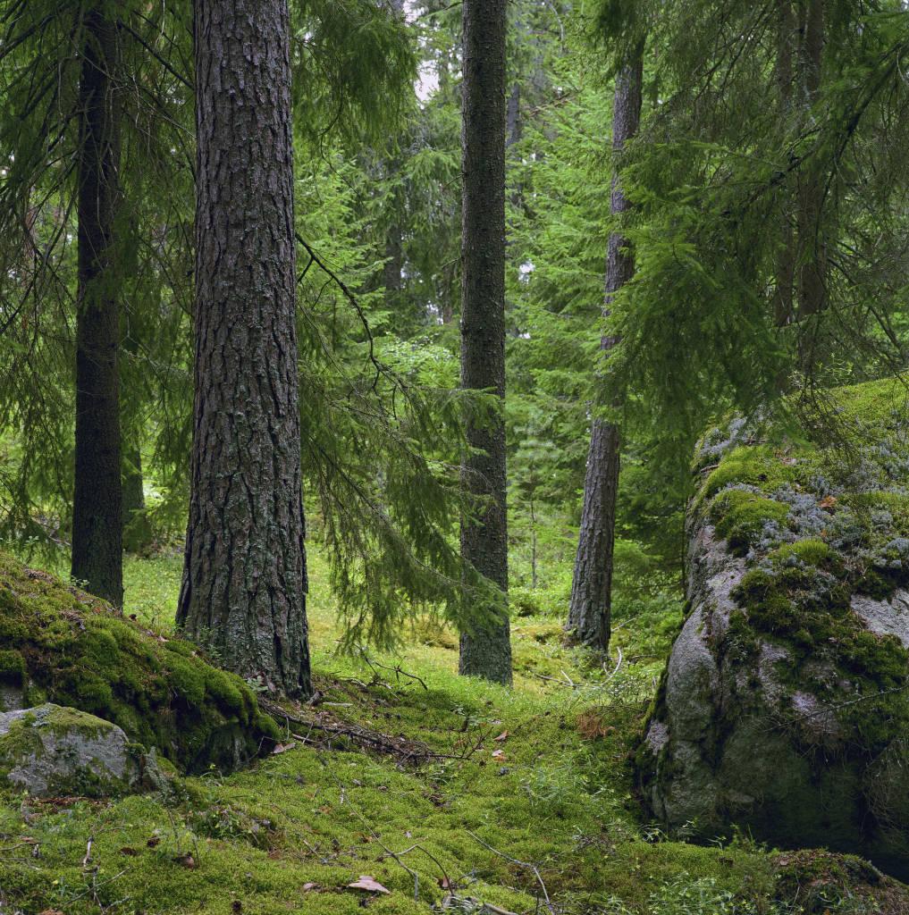 Forest Skog_